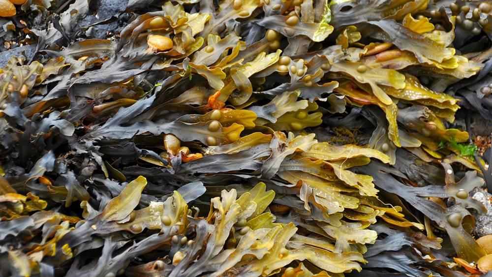 Wodorosty morskie - źródło jodu