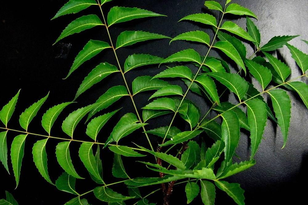 neem liście miodla indyjska