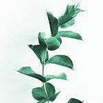 eukaliptus olejek złodziei