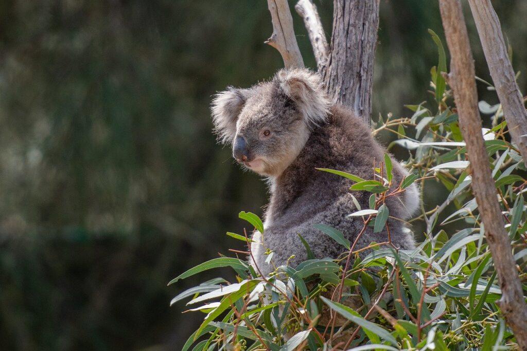 olejek eteryczny eukaliptusowy, eukaliptus, koala