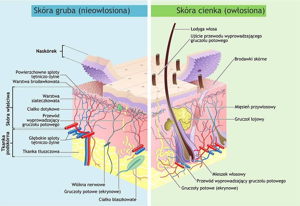 budowa skóry, warstwy