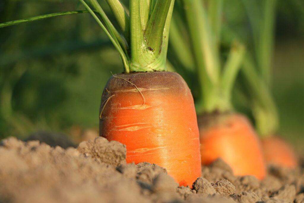 marchewka, rolnictwo, biofortyfikacja