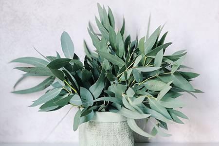 eukaliptus liście, olejek - na komary