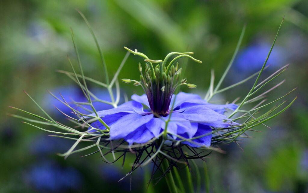 czarnuszka kwiat
