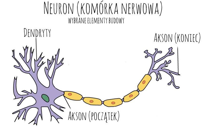 neron, komórka węchowa